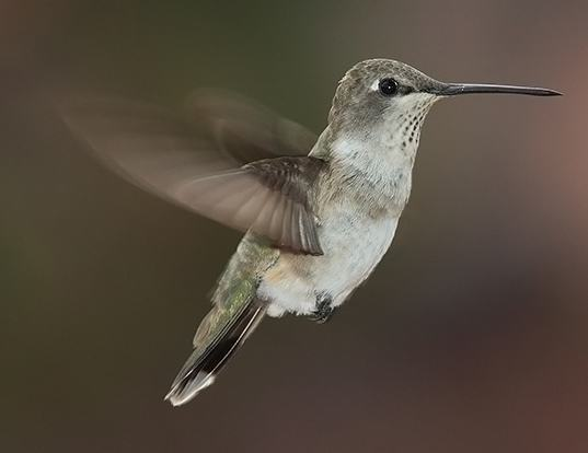 Picture of a black-chinned hummingbird (Archilochus alexandri)