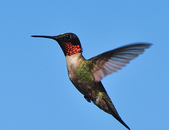 Picture of a ruby-throated hummingbird (Archilochus colubris)