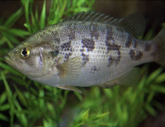 Picture of a sacramento perch (Archoplites interruptus)