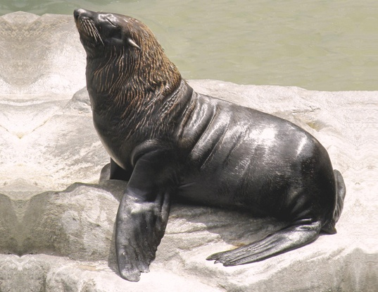 Picture of a south american fur seal (Arctocephalus australis)