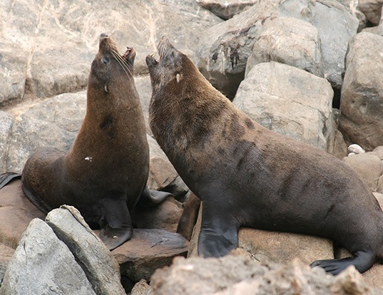 Picture of a new zealand fur seal (Arctocephalus forsteri)