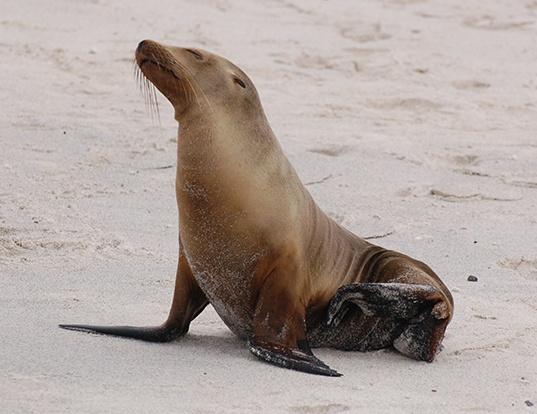 Picture of a galapagos fur seal (Arctocephalus galapagoensis)