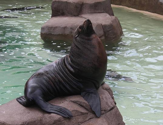 Picture of a guadalupe fur seal (Arctocephalus townsendi)