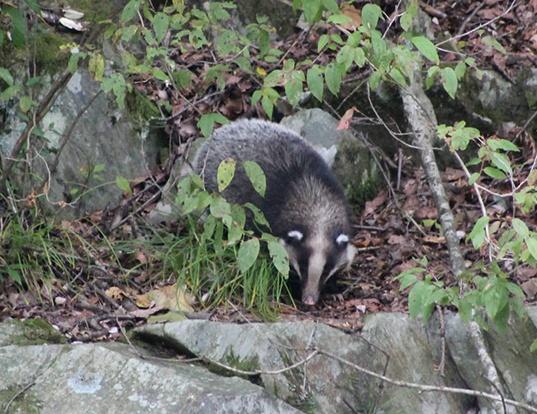 Picture of a hog badger (Arctonyx collaris)