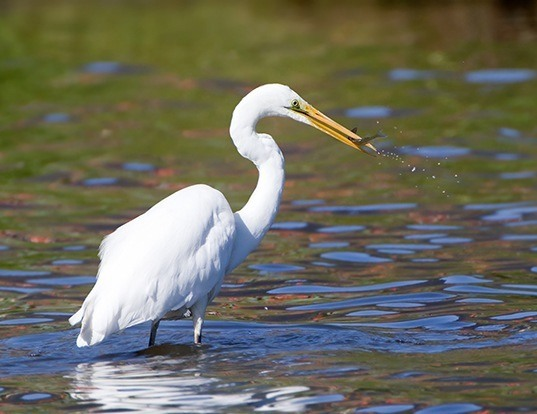 Picture of a great egret (Ardea alba)