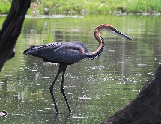 Picture of a goliath heron (Ardea goliath)
