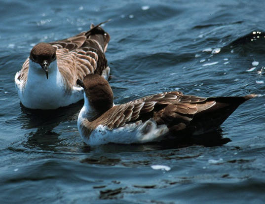 Picture of a great shearwater (Ardenna gravis)