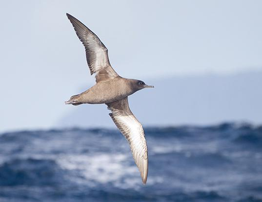 Picture of a sooty shearwater (Ardenna grisea)
