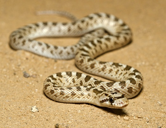 Picture of a arizona glossy snake (Arizona elegans noctivaga)