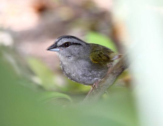 Picture of a olive sparrow (Arremonops rufivirgatus)