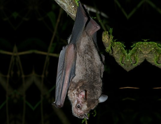 Picture of a jamaican fruit-eating bat (Artibeus jamaicensis)