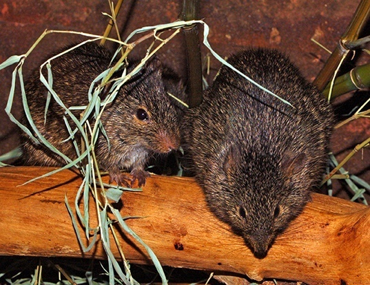Picture of a african grass rat (Arvicanthis niloticus)