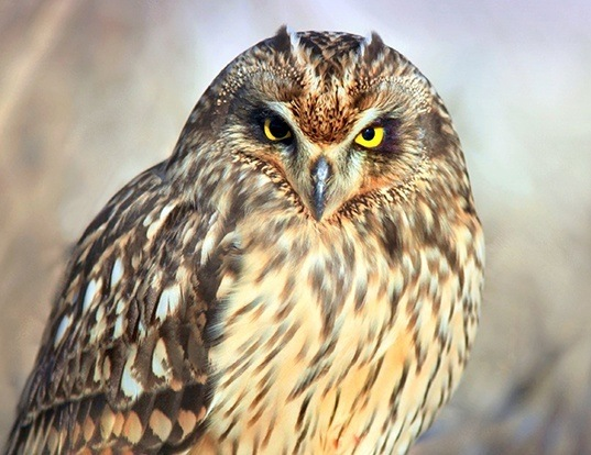 Picture of a short-eared owl (Asio flammeus)