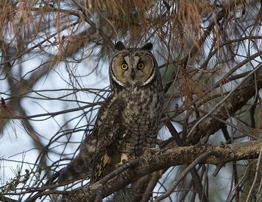 Picture of a long-eared owl (Asio otus)