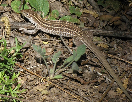Picture of a new mexico whiptail (Aspidoscelis neomexicana)