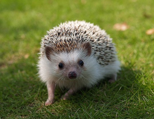 Picture of a four-toed hedgehog (Atelerix albiventris)