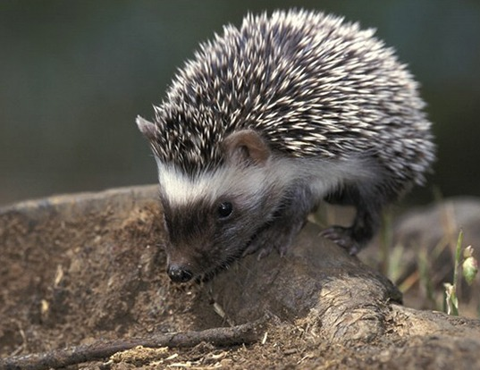 Picture of a algerian hedgehog (Atelerix algirus)