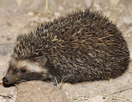 Picture of a southern african hedgehog (Atelerix frontalis)