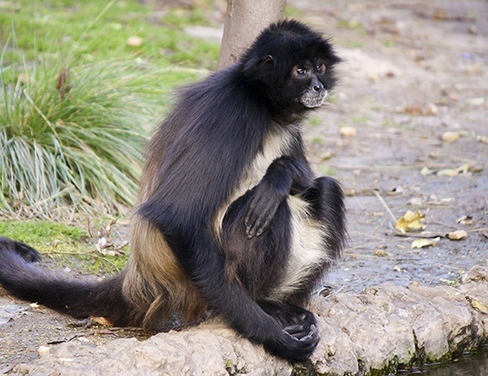 Picture of a white-bellied spider monkey (Ateles belzebuth)