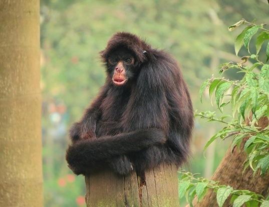 Picture of a black-faced black spider monkey (Ateles chamek)