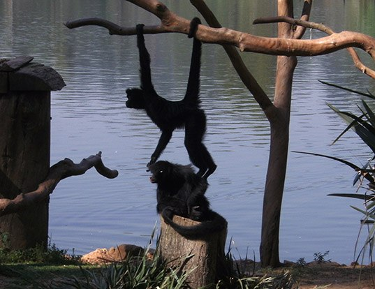 Picture of a brown-headed spider monkey (Ateles fusciceps)