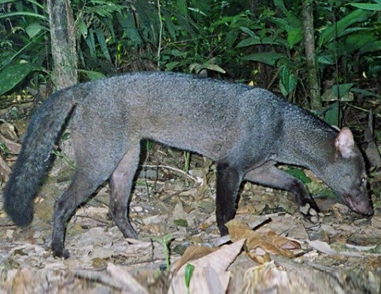 Picture of a short-eared dog (Atelocynus microtis)