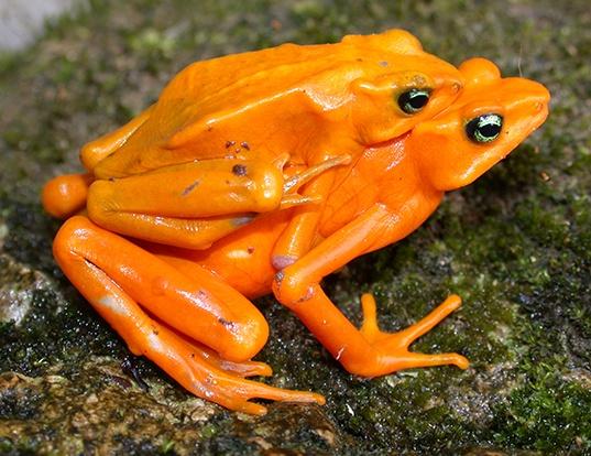 Picture of a golden arrow poison frog (Atelopus varius zeteki)