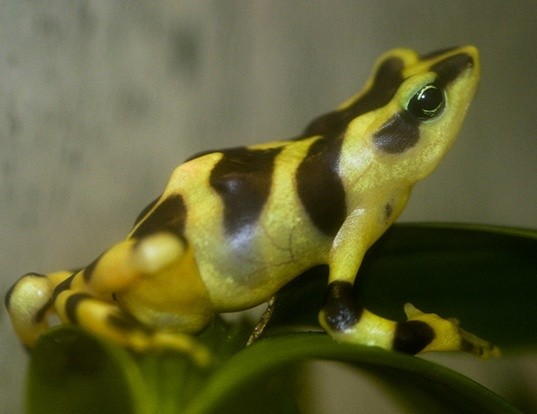 Picture of a harlequin frog (Atelopus varius)