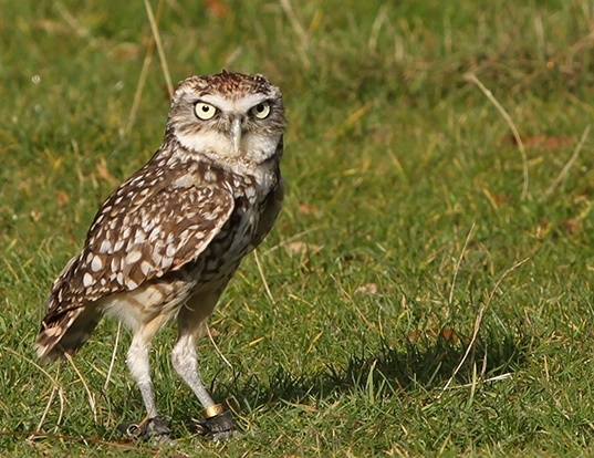 Picture of a burrowing owl (Athene cunicularia)