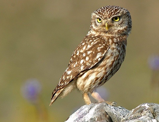 Picture of a little owl (Athene noctua)