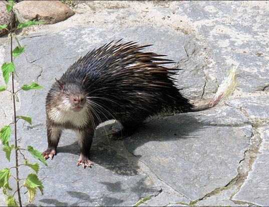 Picture of a african brush-tailed porcupine (Atherurus africanus)