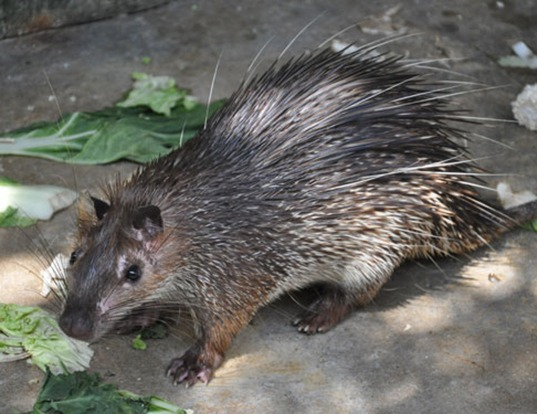 Picture of a asiatic brush-tailed porcupine (Atherurus macrourus)