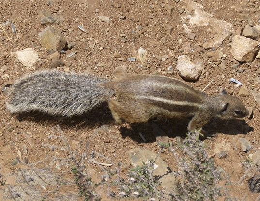 Picture of a barbary ground squirrel (Atlantoxerus getulus)