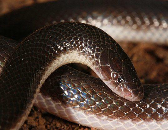 Picture of a bibron's mole viper (Atractaspis bibronii)