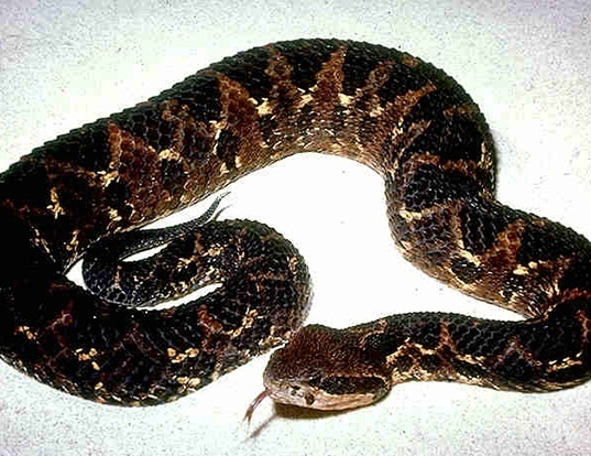 Picture of a picado's pit viper (Atropoides picadoi)