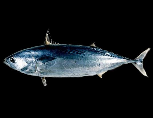 Picture of a frigate tuna (Auxis thazard)