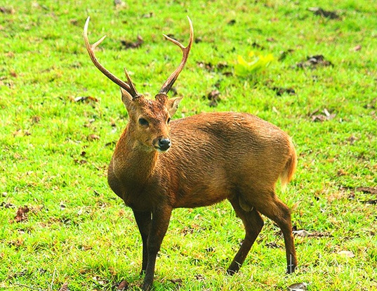 Picture of a calamian deer (Axis calamianensis)