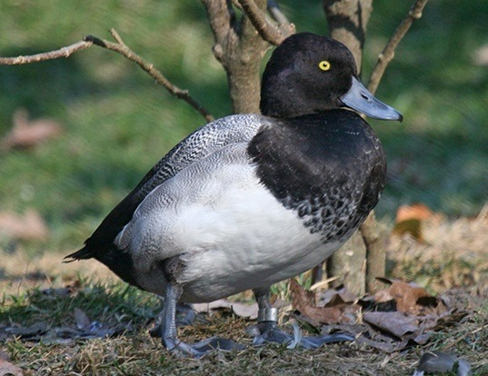 Picture of a greater scaup (Aythya marila)