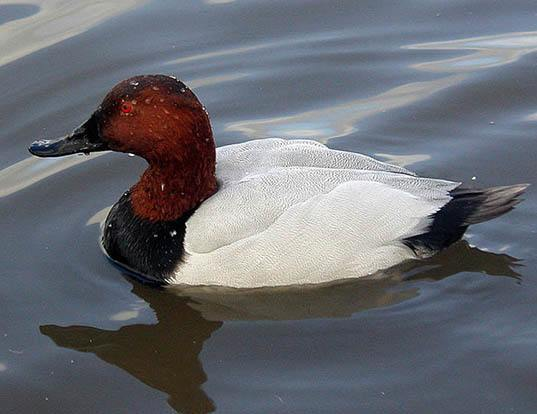 Picture of a canvasback (Aythya valisineria)
