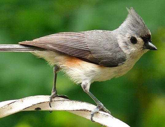 Picture of a tufted titmouse (Baeolophus bicolor)