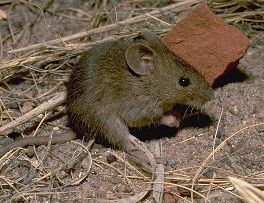 Picture of a northern pygmy mouse (Baiomys taylori)