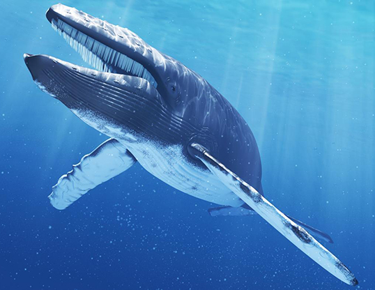 Picture of a blue whale (Balaenoptera musculus)