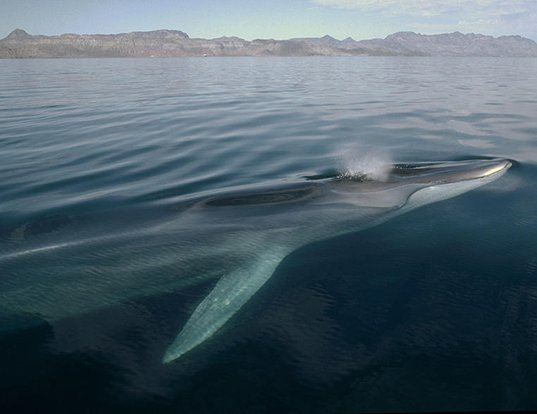 Picture of a fin whale (Balaenoptera physalus)