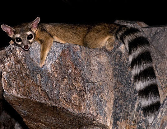 Picture of a ringtailed (Bassariscus astutus)