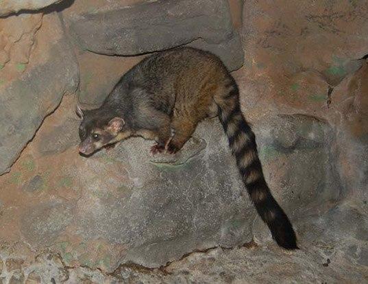 Picture of a cacomistle (Bassariscus sumichrasti)