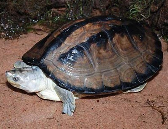 Picture of a indian dhongoka terrapin (Batagur dhongoka)