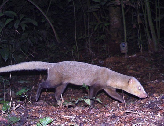 Picture of a black-footed mongoose (Bdeogale nigripes)