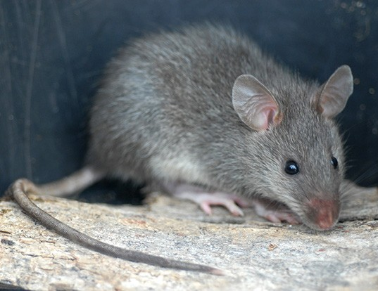 Picture of a bower's white-toothed rat (Berylmys bowersi)