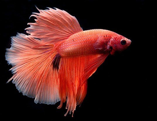 Betta Fish Life Span | Siamese Fighting Fish Life Expectancy