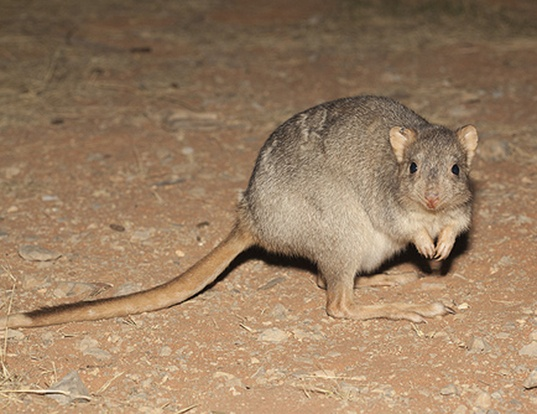 Picture of a burrowing bettong (Bettongia lesueur)